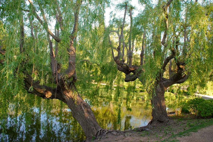 Botanic Gardens Weeping Willow by Jose Deleon - Nature Up Close Trees & Bushes