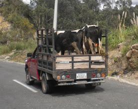 Photo: Local farmer cattle transport company.