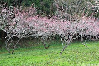 Photo: 拍攝地點: 梅峰-梅園 拍攝植物: 梅花 拍攝日期: 2014_02_18_FY