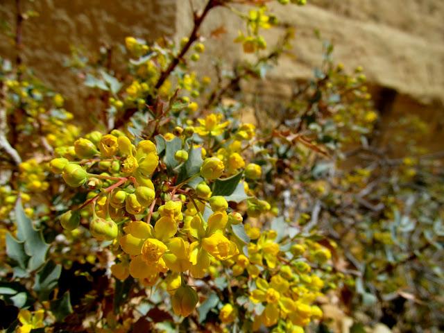 Fremont's Mahonia in bloom