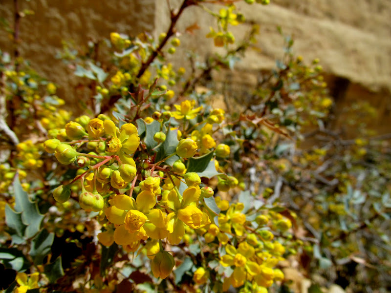 Photo: Fremont's Mahonia in bloom