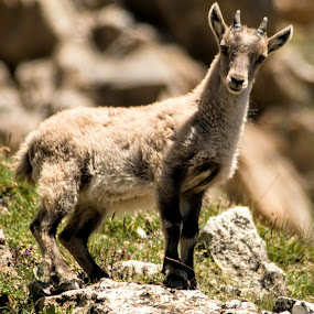 Baby ibex by Eden Meyer - Animals Other ( mountain, baby, ibex,  )