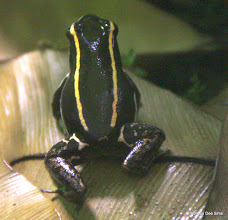 Photo: (Year 3) Day 23 - Striped Poison Dart Frog from Costa Rica