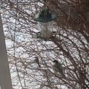 Family group of male,female chickadees