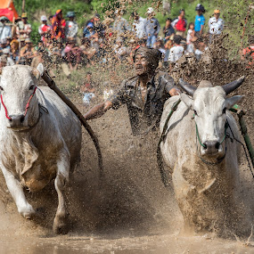 Pacu jawi by Teddy Winanda - News & Events Sports ( west sumatera tourism, minangkabau, traditional sport, cow race, pacu jawi )
