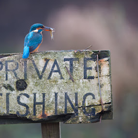 Kingfisher by Howard Kearley - Animals Birds