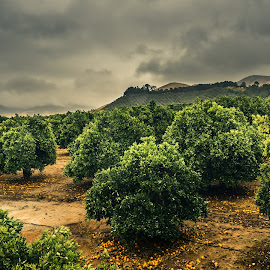 Citrus Orchard by Michael Mercer - Nature Up Close Trees & Bushes