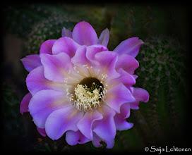 """Photo: """"The Beauty of Nature"""" - © Saija Lehtonen http://saija-lehtonen.artistwebsites.com/featured/the-beauty-of-nature-saija-lehtonen.html  #cactus #floral #nature #FloralFriday"""