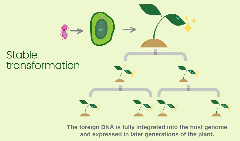 stable transformation diagram - foreign DNA is integrated into the host genome and expressed in later generations of the plant.