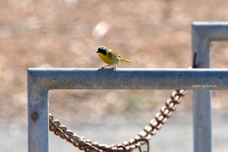 Photo: Common Yellowthroat - Male
