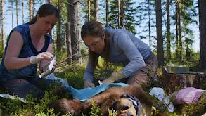 Swedish Bears thumbnail