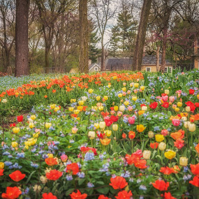 Bulb Heaven by Lynn Kirchhoff - Flowers Flower Gardens ( spring, bulbs, flowers, tulips, may, garden, backyard, daffodils, bluebells,  )