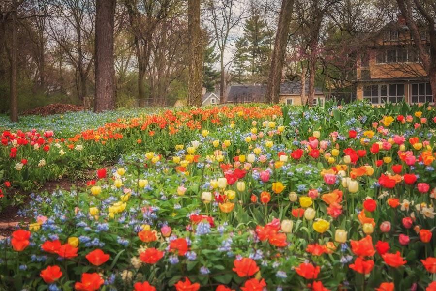 Bulb Heaven by Lynn Kirchhoff - Flowers Flower Gardens ( spring, bulbs, flowers, tulips, may, garden, backyard, daffodils, bluebells,  )