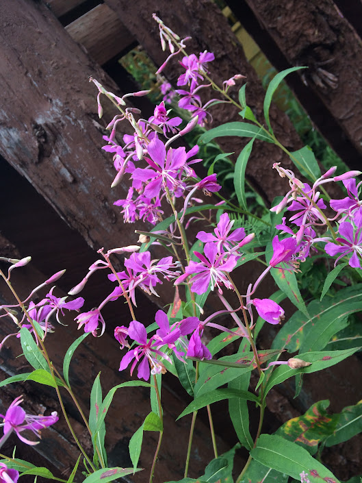 Fireweed - my birthday flower