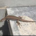 Erhard's Wall Lizard