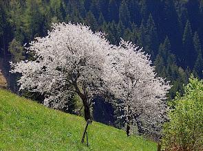 Photo: Kirschblüte beim Gsteier