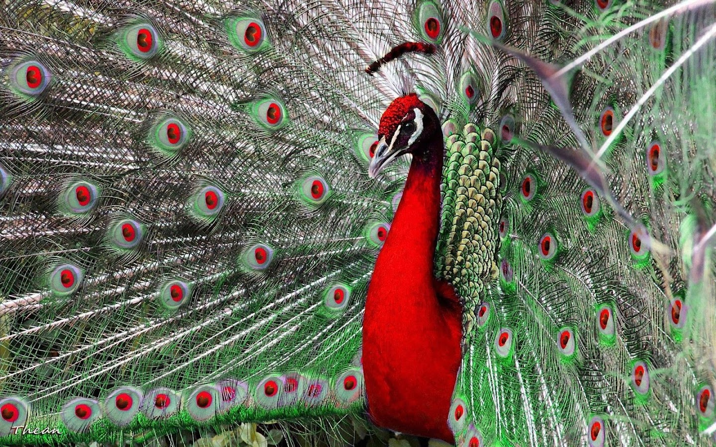 peacock live wallpaper pictures of peacocks android apps on