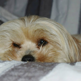 One warching eye by Mari Breytenbach - Animals - Dogs Portraits ( love, small dog, best friends, lazy, dog, novice )