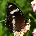 Great Eggfly or Blue Moon Butterfly ♂