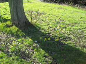 Photo: The bulbs flower in March 2008