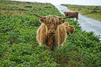 Photo: Highland Cattle