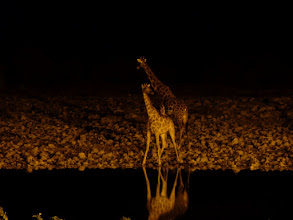 Photo: Etoschapark, Giraffen am Wasserloch