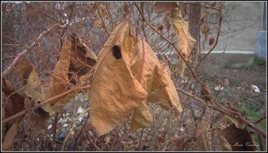 Photo: Iulişca (Fallopia japonica sau Polygonum: Cuspidatum, Polystach) - de pe Str. Gheorghe Lazar - 2017.12.11