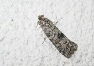 Photo: Dioryctria abietella     Lepidoptera > Pyralidae