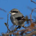 Loggerhear Shrike