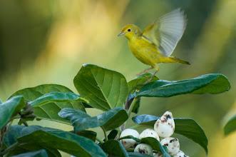 Photo: Yellow Warbler (Goldwaldsänger); Rio Lagartos, YUC