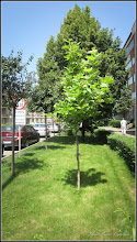 Photo: Arbore de gumă (Liquidambar orientalis) - de pe Str. Libertatii - 2016.06.24 album: http://ana-maria-catalina.blogspot.ro/2016/07/arbore-de-guma-liquidambar-orientalis.html