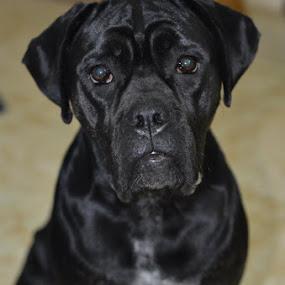 Maxie by Jimmy Cuadra - Animals - Dogs Portraits