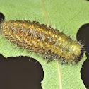 Paropsisterna rufobrunnea larva