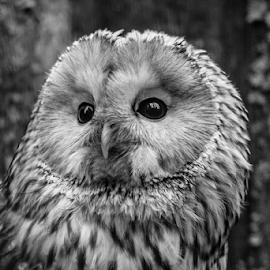 Ural owl by Garry Chisholm - Black & White Animals ( raptor, ural owl, bird of prey, nature, ranua, garry chisholm )