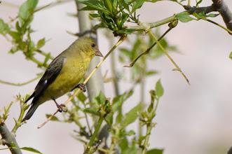 Photo: Lesser Goldfinch (Mexikozeisig), female; Juriquilla, QRO