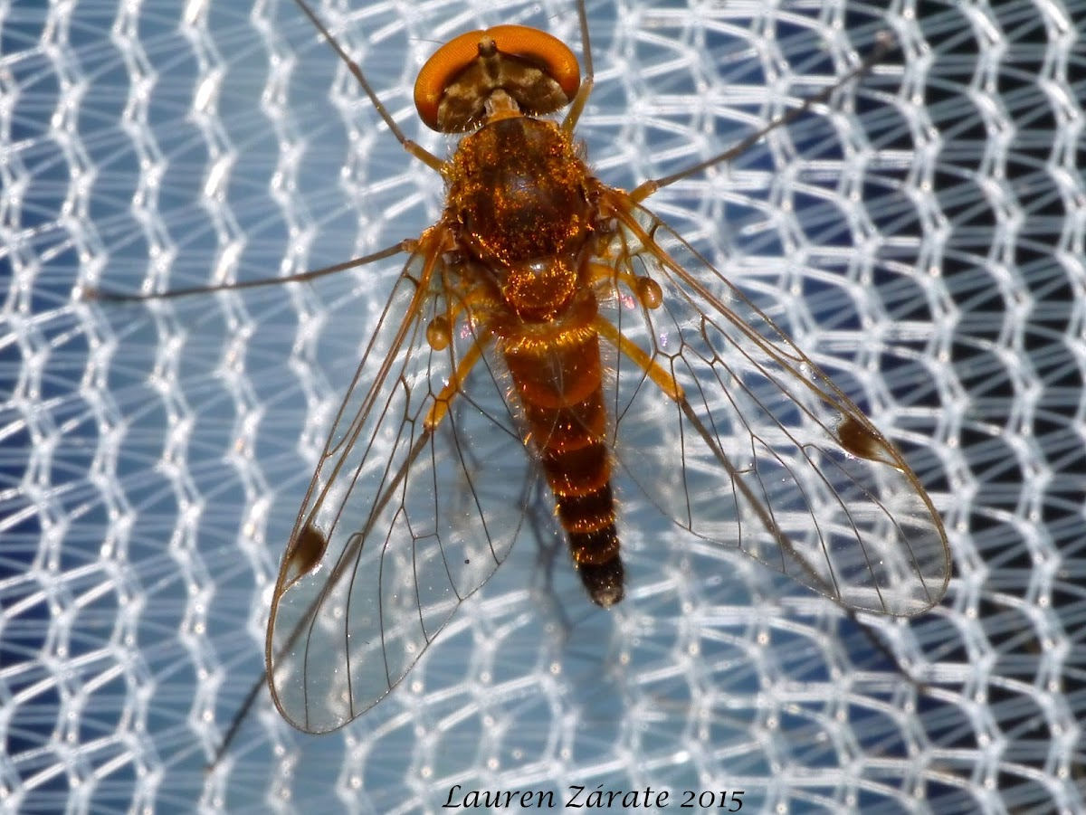 Orange Snipe Fly