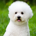 bichon frise wallpaper icon