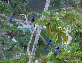 Photo: San Blas Jays, Vallarta Botanical Gardens