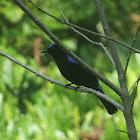 Asian Fairy Blue-bird