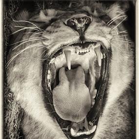 Hear Me Roar by Lynn Kirchhoff - Animals Lions, Tigers & Big Cats ( big cat, cat, roar, lioness, teeth, yawn,  )