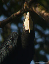Photo: Black Hornbill, Danum Valley