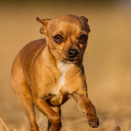 by Francois Loubser - Animals - Dogs Running