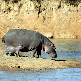 HIPPO MOTHER AND CUB by Sandra Mcgowan - Animals Other Mammals ( baby hippo, kruger park, hippo, crocodile river, south africa )