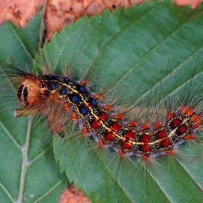 gypsy moth caterpillar by Marko Lengar - Animals Insects & Spiders ( moth, butterfly, gypsy moth, insect )