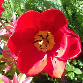 Red and Pink by Gay Reilly - Novices Only Flowers & Plants ( red, foliage, pink, tulip, flower )