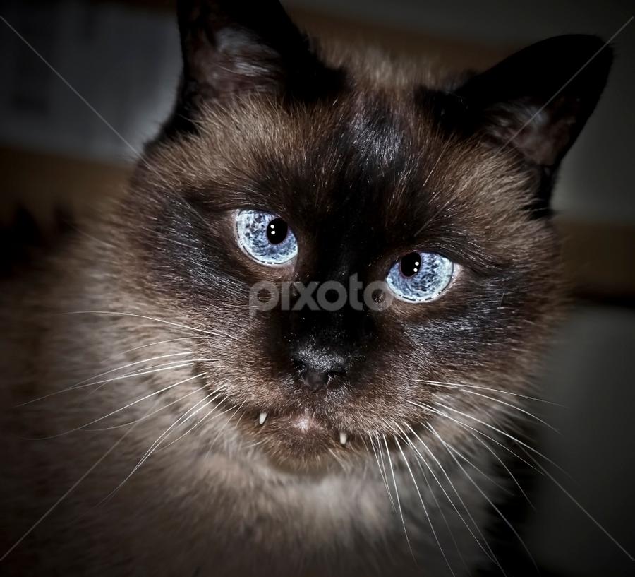 Blue Eyes by Susan Farris - Animals - Cats Portraits ( angel, cat, female, blue, feline, eyes, face, photography, closeup, close, up )