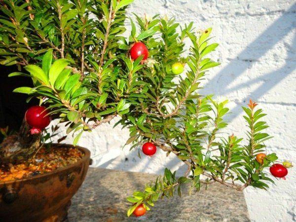 bonsai cerejeira como cuidar