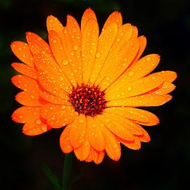 Souci et gouttes by Gérard CHATENET - Flowers Single Flower