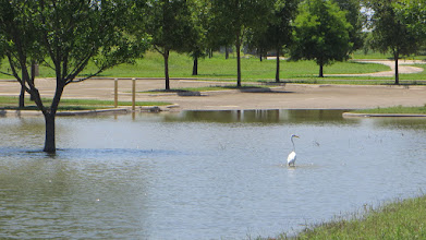 Photo: Great Egret of the Parking Lot.
