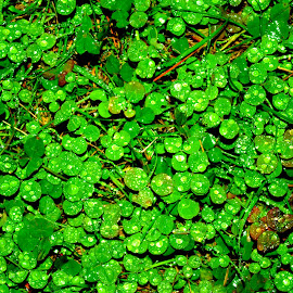 Rainy Day Clover by Martin Stepalavich - Nature Up Close Leaves & Grasses